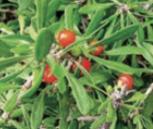Волчья ягода или волчье лыко