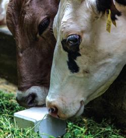 Большая слюна – большое молоко, или зачем корове лизунец