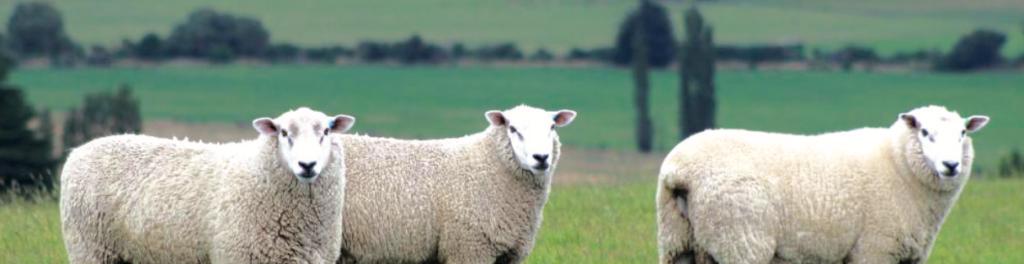 Российское овцеводство: путь в мясные флагманы